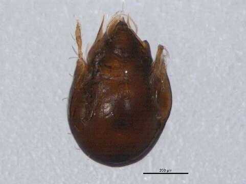 Image of Oribatelloidea