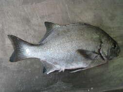 Image of bony fishes