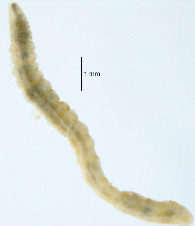 Image of Magelonidae