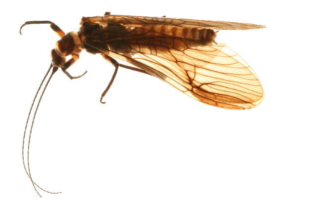Image of Nemouroidea