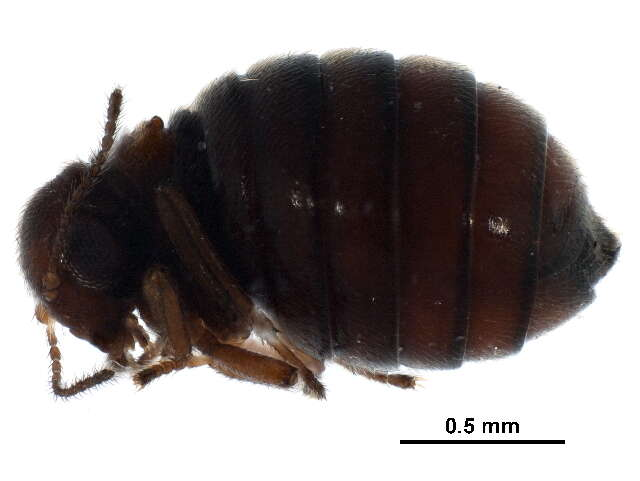 Image of scorpionflies