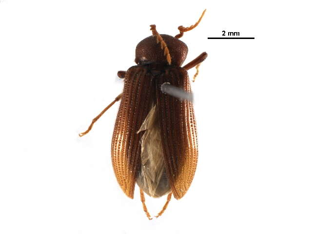 Image of cerophytid beetles