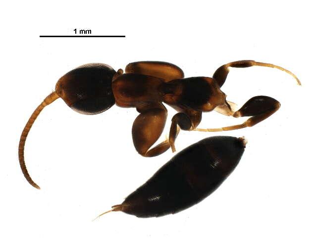 Image of Aculeata