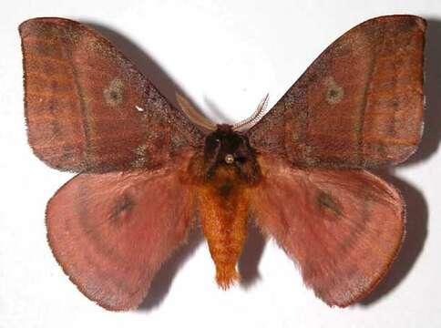Image of Apoditrysia
