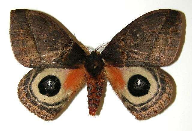 Image of giant silkworm moths