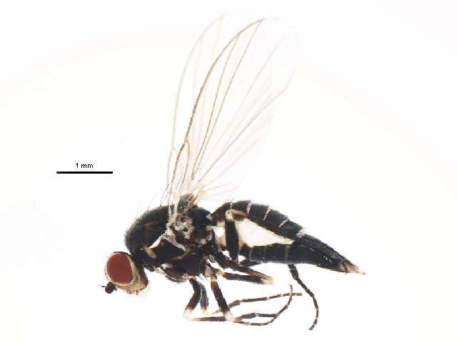 Image of <i>Phytomyza continua</i> Hendel 1920