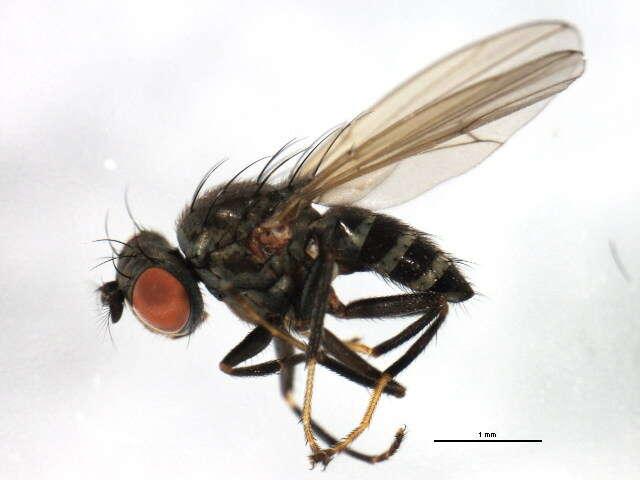 Image of <i>Notiphila scalaris</i> Loew 1862