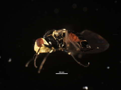 Image of Amauromyza