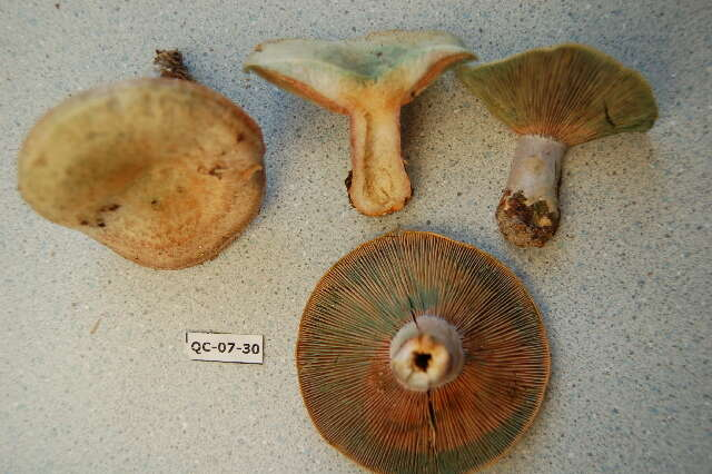 Image of Milk Cap Mushrooms