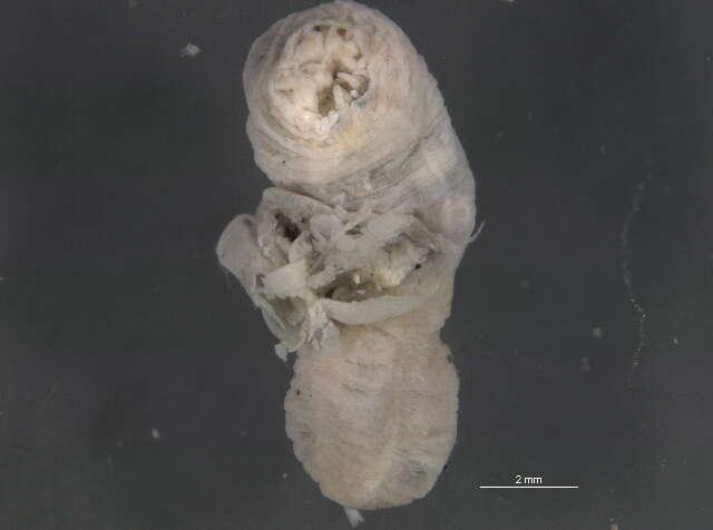 Image of ecdysozoans