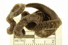 Image of Orbiniida