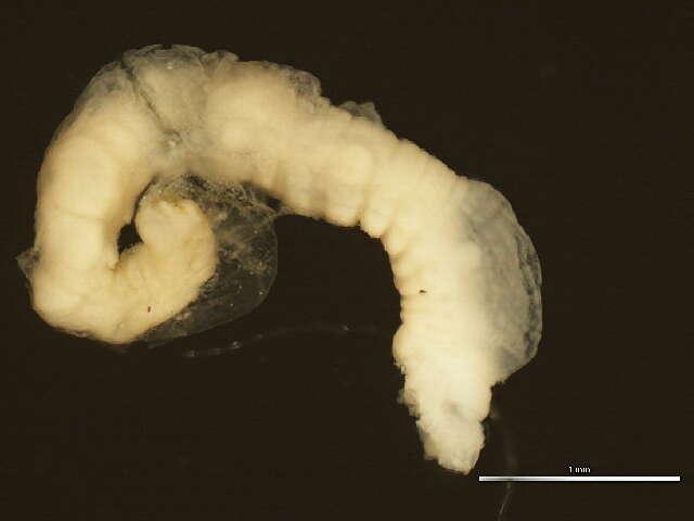 Image of Terebelliformia