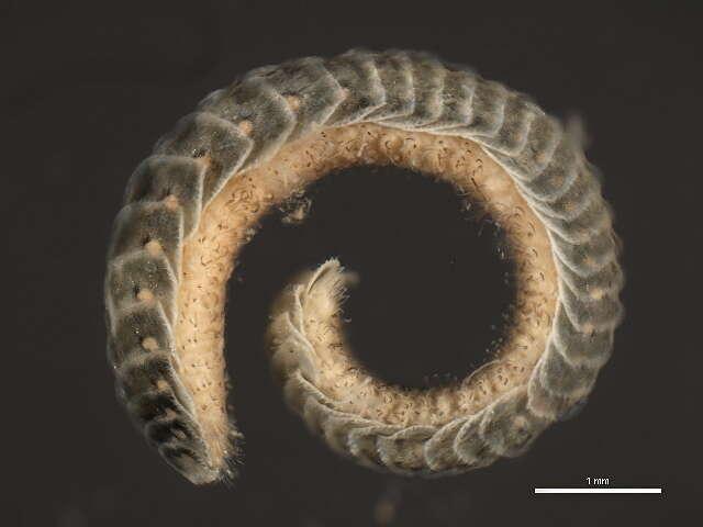 Image of unclassified Phyllodocida