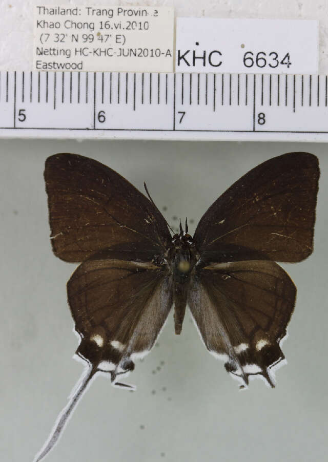 Image of gossamer-winged butterflies