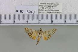 Image of crambid snout moths