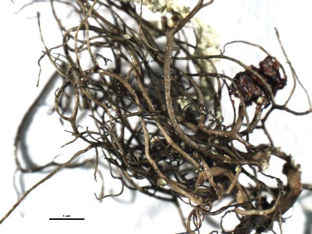 Image of Parmeliaceae