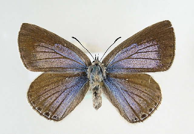 Image of Iolana