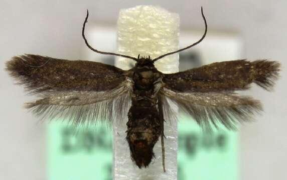Image of Parascythris