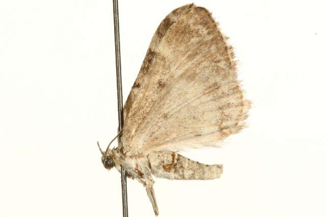 Image of Perizoma