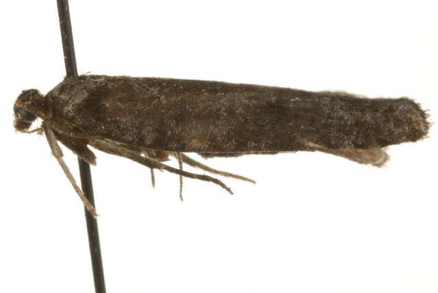 Image of Exaeretia