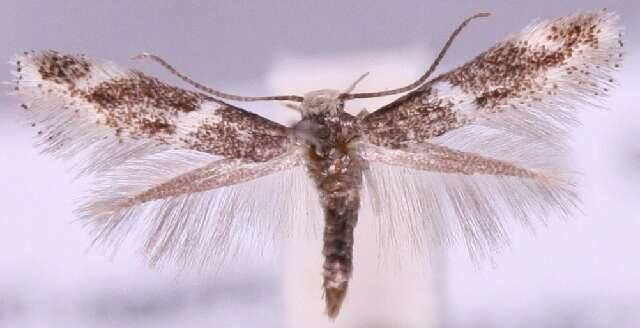 Image of <i>Elachista stabilella</i> Stainton 1858