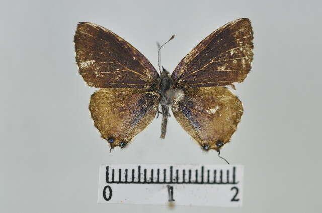 Image of Uranothauma
