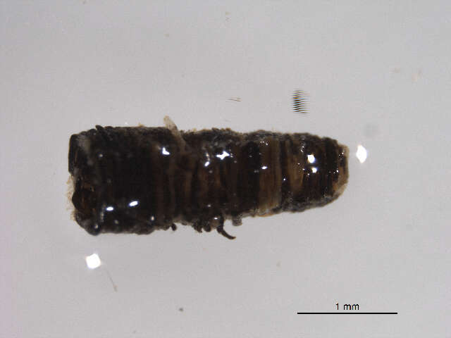 Image of nematodes