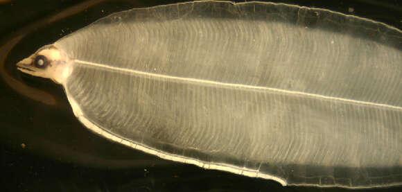 Image of true eels