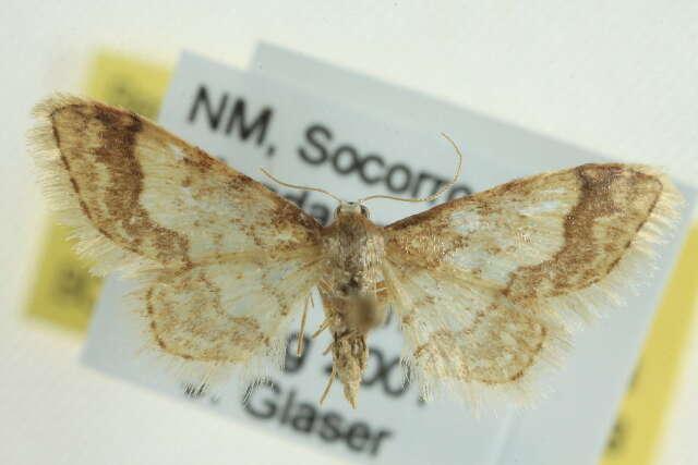 Image of <i>Idaea skinnerata</i> Grossbeck 1907