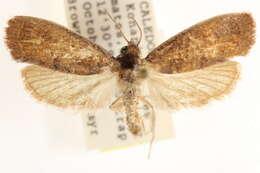 Image of Carposinoidea