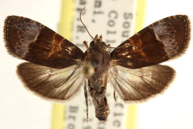 Image of Immoidea