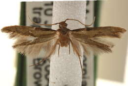Image of Tubeworm, Bagworm, and Clothes Moths