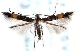 Image of <i>Cosmopterix parietariae</i> Hering 1931