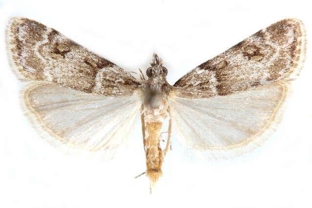 Image of Scoparia