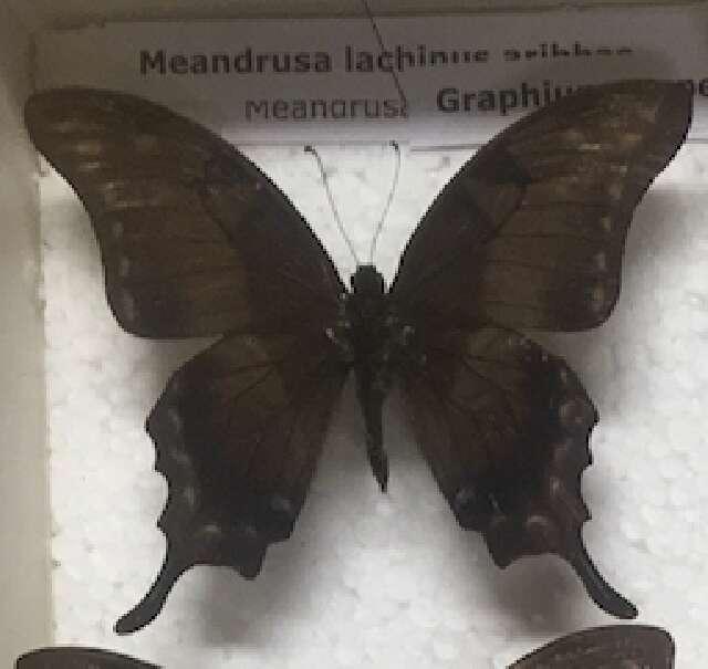 Image of swallowtail butterflies