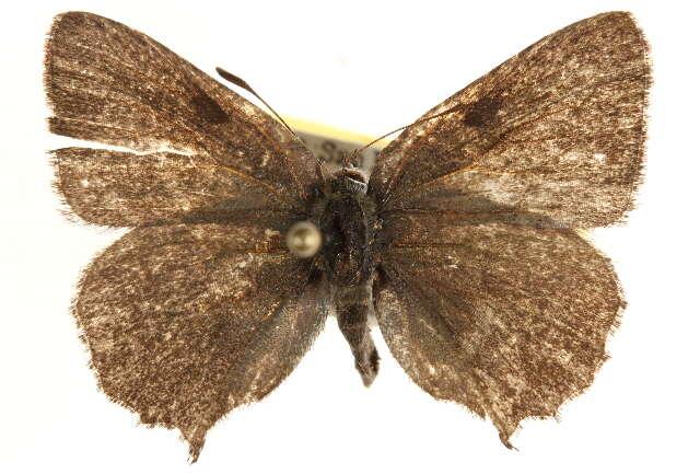 Image of <i>Callophrys dumetorum</i> (Boisduval 1852)