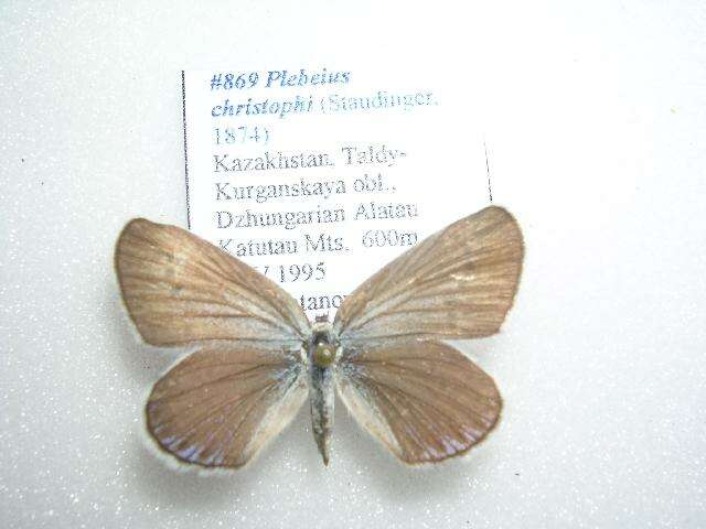 Image of Plebejus