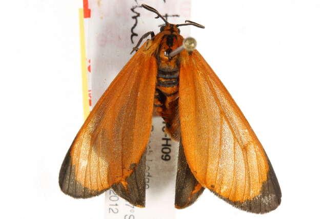 Image of <i>Zerenopsis leopardina</i> Felder 1874