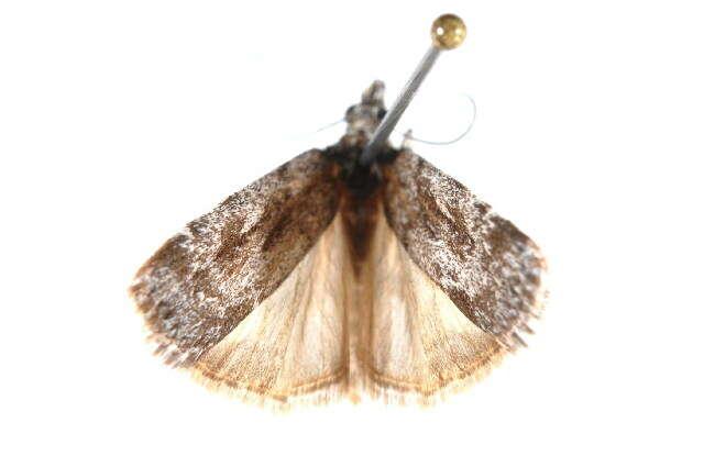 Image of <i>Scoparia favilliferella</i> Walker 1866
