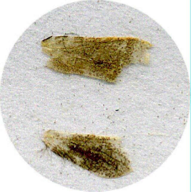 Image of Palaeosetidae
