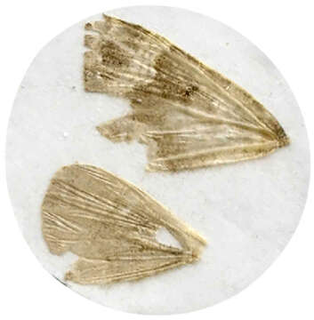 Image of Lampropteryx