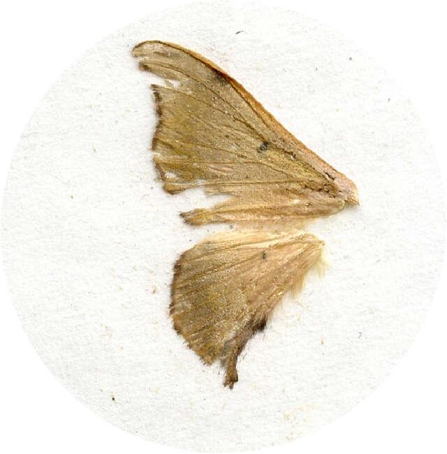 Image of Mimallonoidea