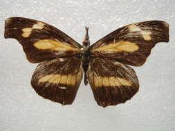Image of Libythea