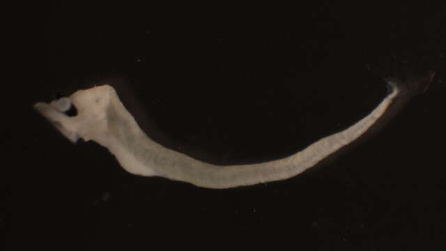 Image of Alepisauroidei