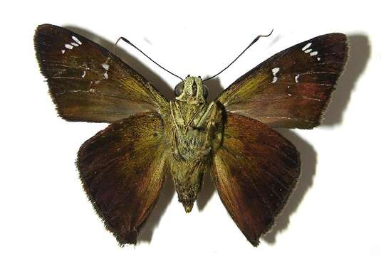 Image of skipper butterflies