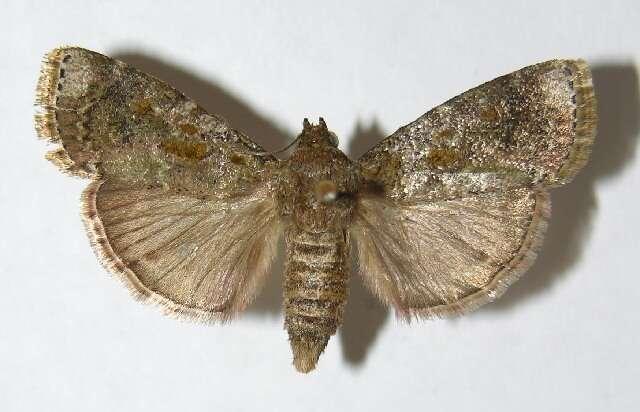 Image of grass moths