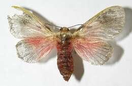 Image of Flannel, Slug Caterpillar, Leaf Skeletonizer Moths and kin