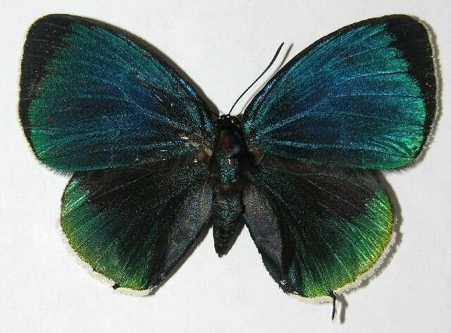 Image of <i>Theorema eumenia</i> Hewitson 1865