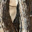 Image of <i>Mimosa acantholoba</i> (Willd.) Poir.