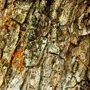 Image of <i>Albizia guachapele</i> (Kunth) Dugand